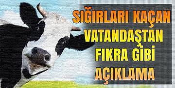 Sığırları kaçan vatandaştan fıkra gibi açıklama